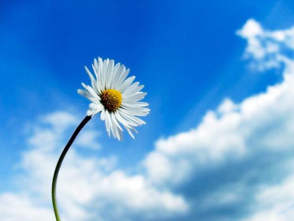 С тревогой, бессонницей и депрессией помогает бороться ромашка
