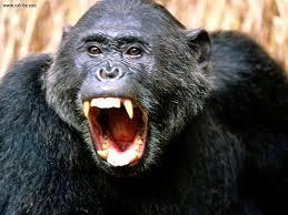 У шимпанзе те же личностные характеристики, что и у человека