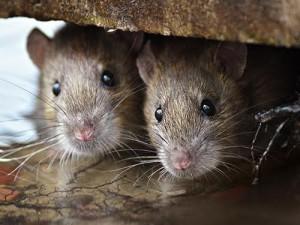 Крысы как причина депрессии