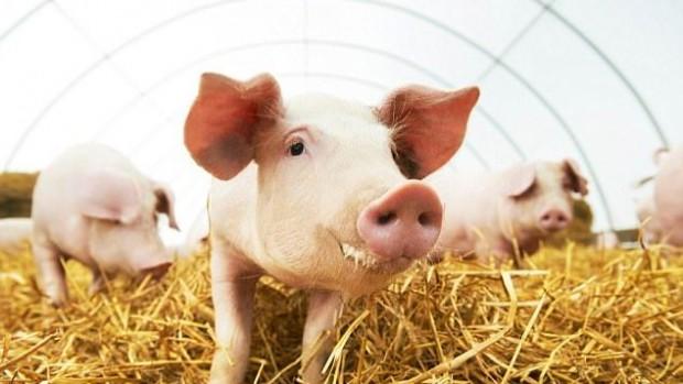 Пересадка клеток свиней в головной мозг позволит лечить болезнь Паркинсона