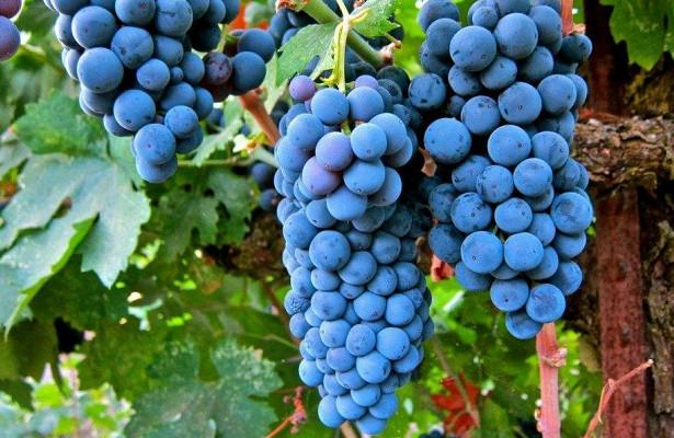 Эффективный антидепрессант из винограда