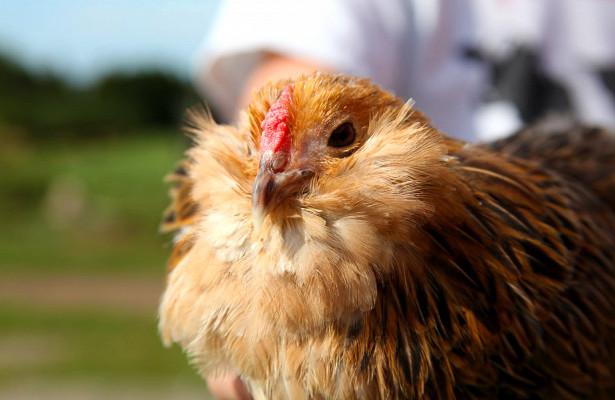 Приключения делают цыплят оптимистами