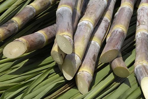 Крепкий сон и отсутствие стресса подарит сахарный тростник