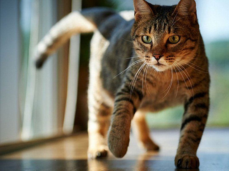 Кошачий паразит может вызывать шизофрению