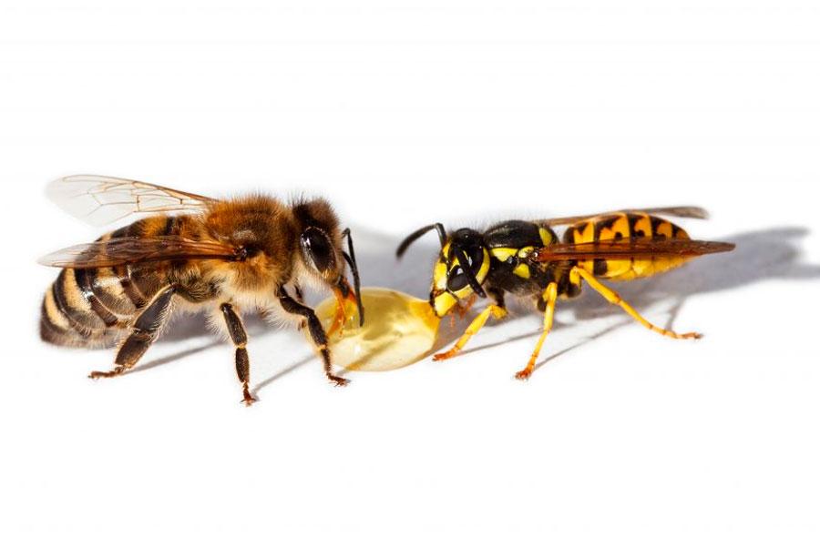 Чем различается оса от пчелы: как отличить насекомое?