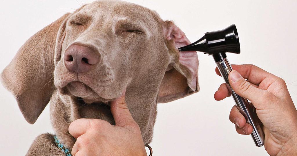 Почему собака чешет уши?