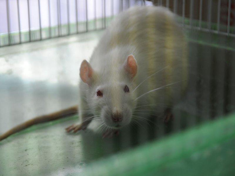 В костях мышей обнаружен гормон стресса