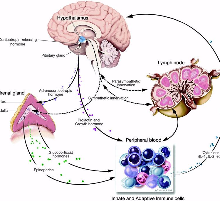 Гормоны и стресс